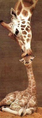 jirafa mama